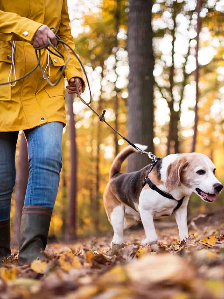 Close up image of a person walking their dog in a wooded area with fall leaves on the ground. Demonstrating how many steps to lose weight,